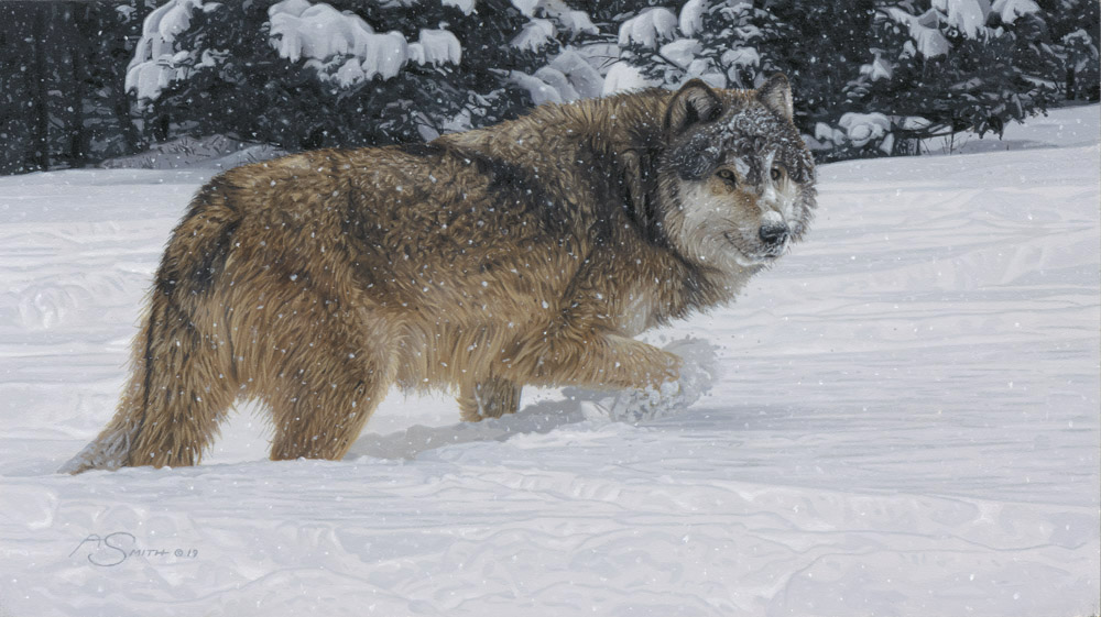 """Powder Day"" Grey Wolf by Adam Smith Original 9"" x 16"" - Acrylic Available at Quest for the West"