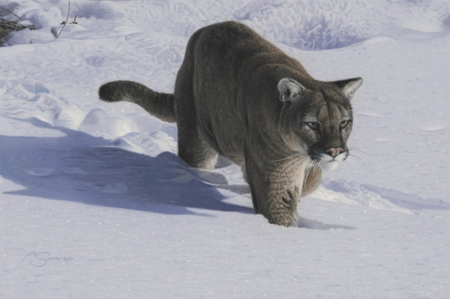 """""""Inching Closer"""" - Cougar in snow - 8"""" x 12"""" ND_23942 by Adam Smith"""