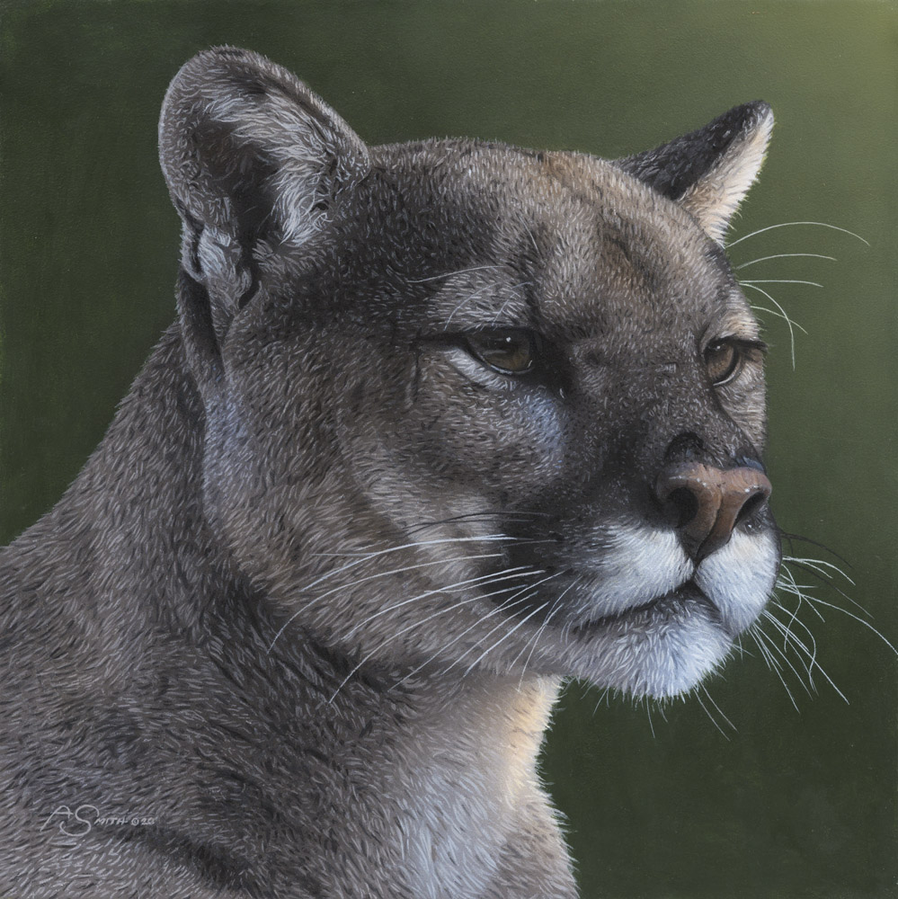 """Regal"" - Cougar Portrait - 12"" x 12"" by Adam Smith"